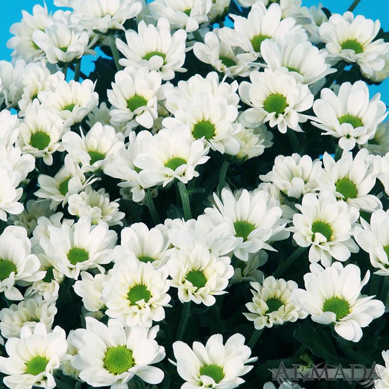Alice® White