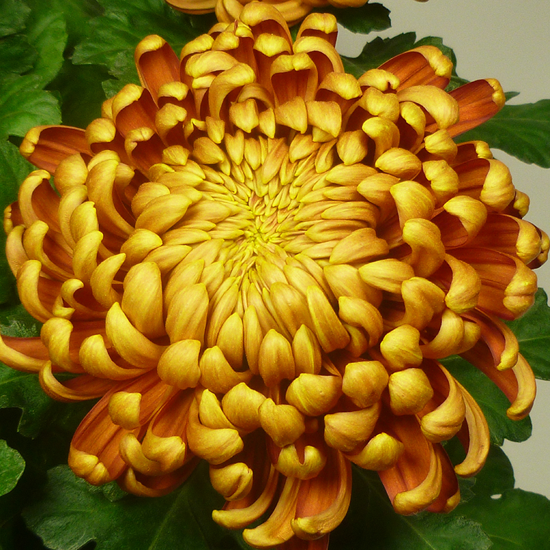 Calore Gold 2