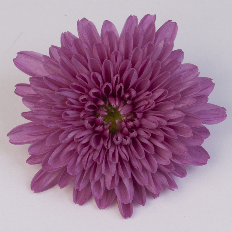 Cleese Pink Nr09003 Bloem