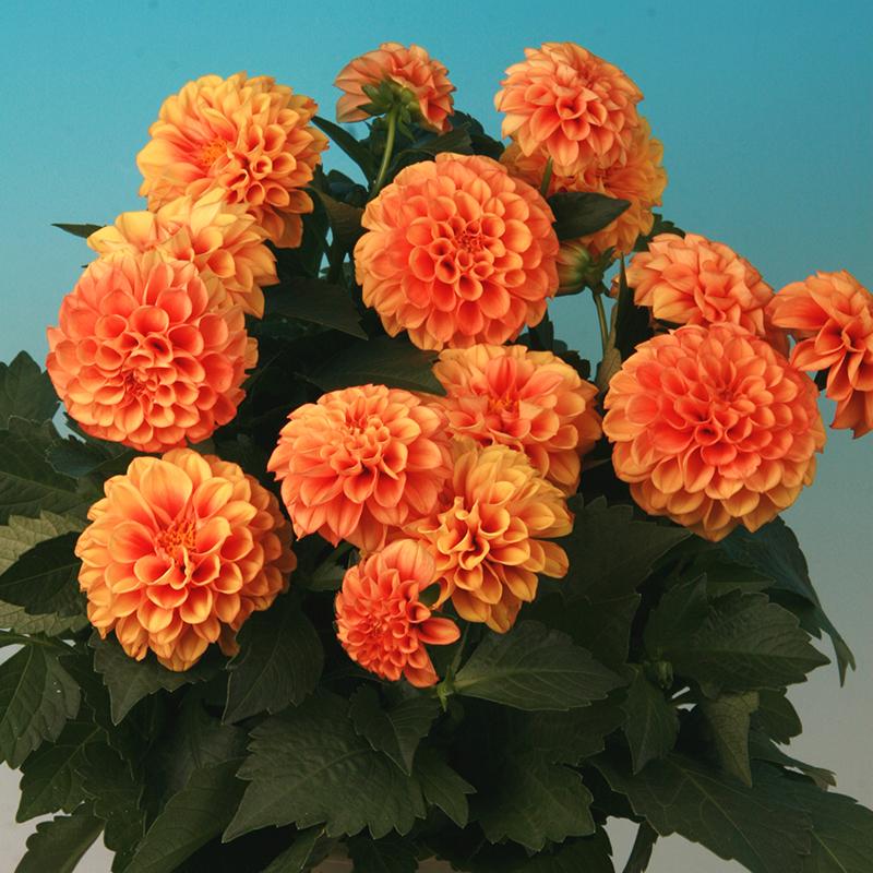 pot plants archieven page 12 of 18 armada breeding. Black Bedroom Furniture Sets. Home Design Ideas