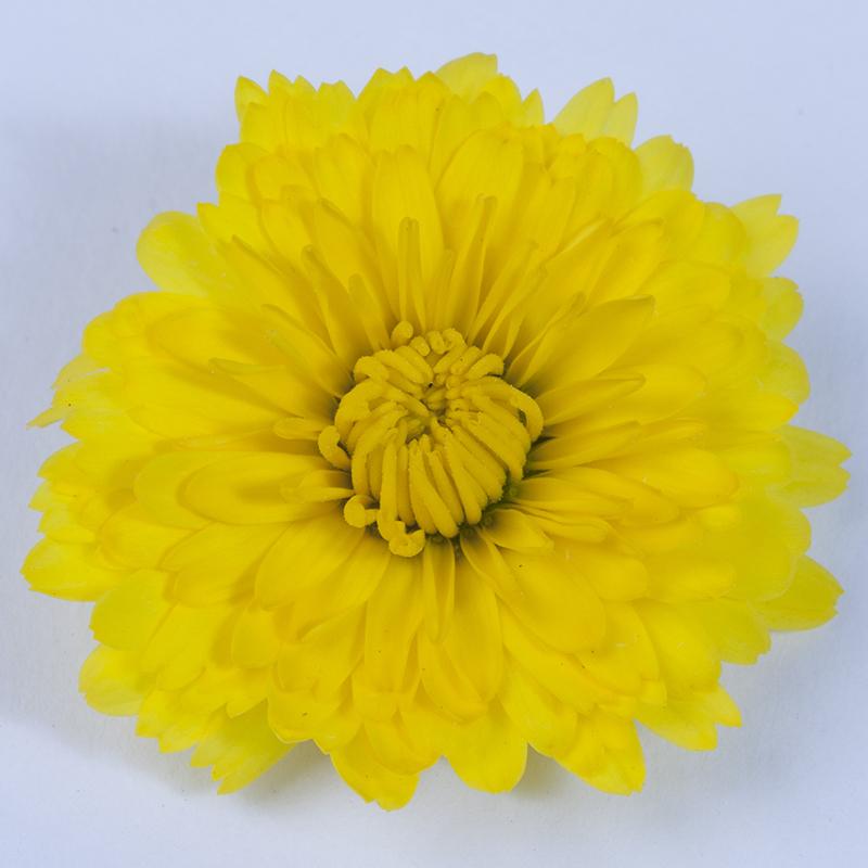DeVito Yellow Nr09017 W Bloem