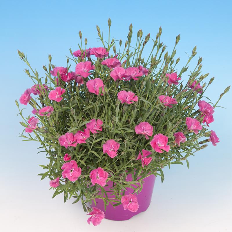 Dianthus Dianturi® Twinkle