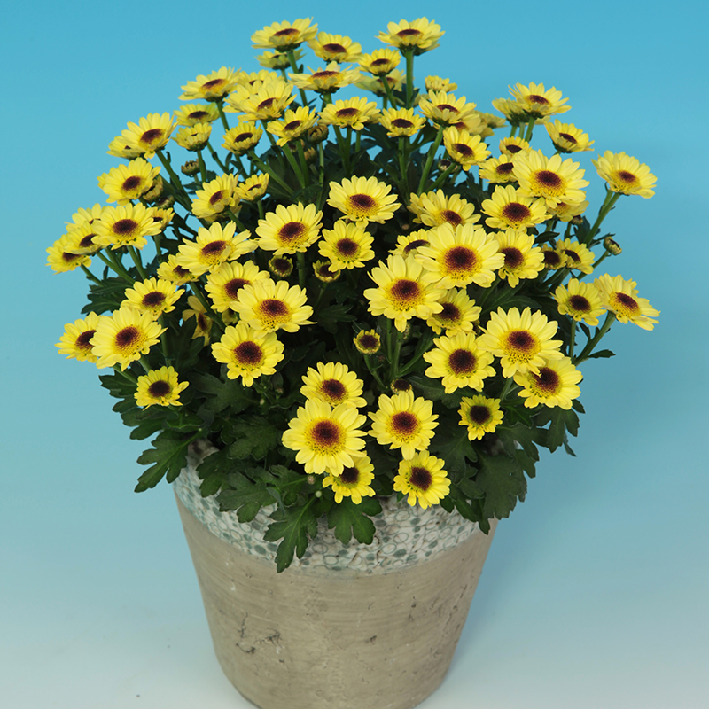 Pico Exota® Yellow