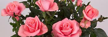 Start verkoop en vermeerdering van Star®-roses