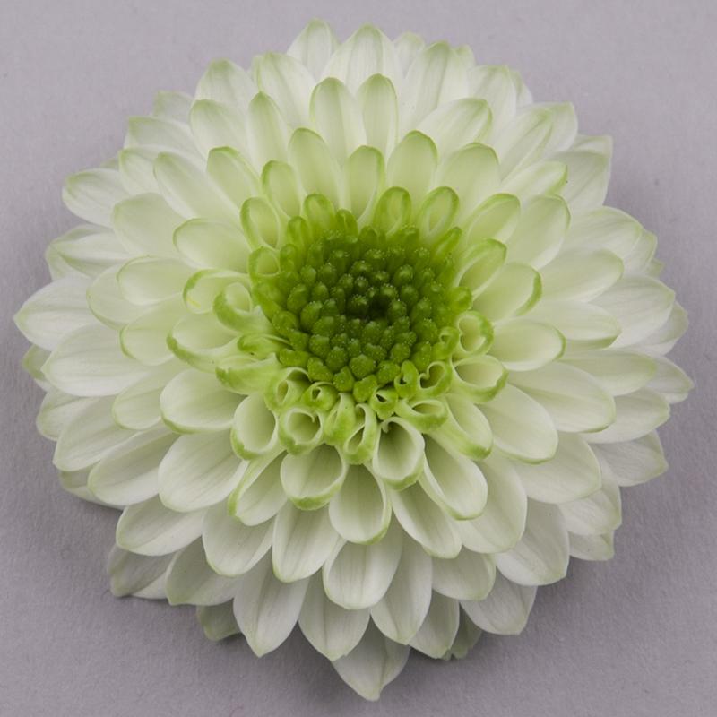 lucille-white_bloem