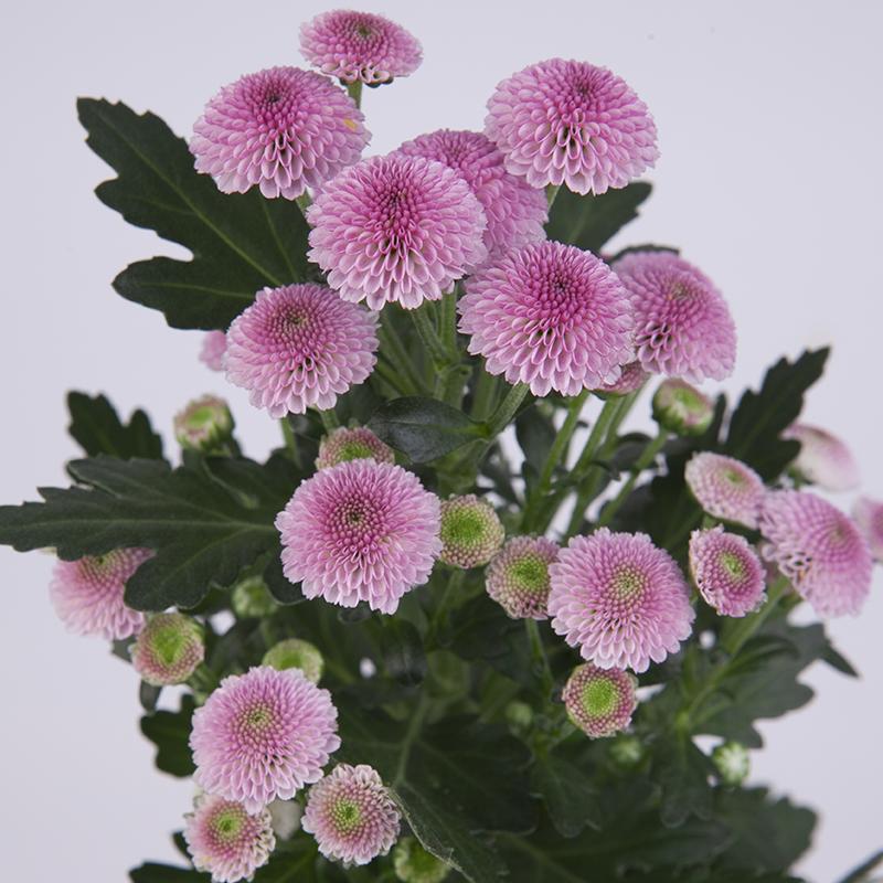 Nora® Pink