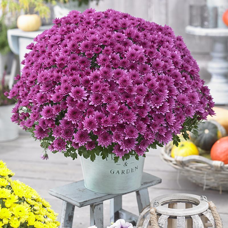 Chrysanthemum Blanchett® Pink