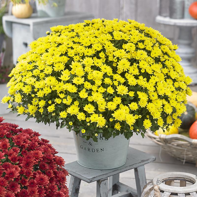 Chrysanthemum Blanchett® Yellow