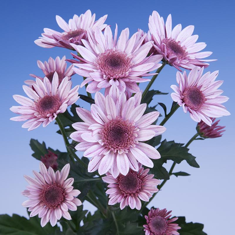 Baldini® Soft Pink