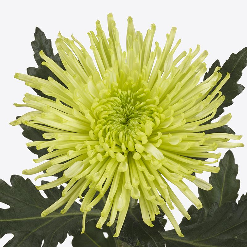 Tula® Green