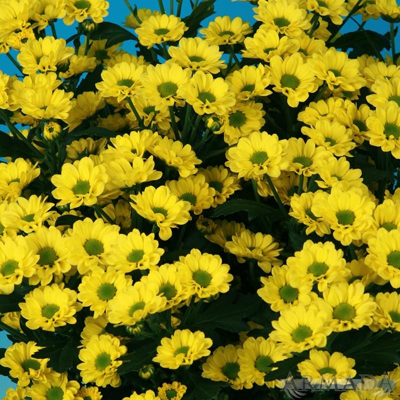 Alice® Yellow