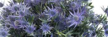 New Product Eryngium