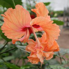 FireFall® Orange