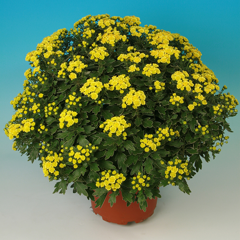 Pacific® Yellow Multiflora