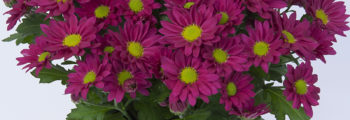 Introduction new pot chrysanthemums