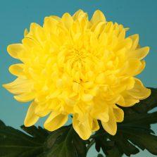 Rostov® Yellow