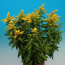 Solidago Yellow Suprise®