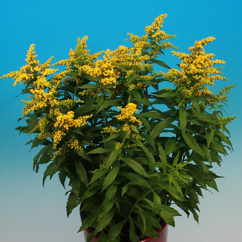 Solidago Yellow Suprise®