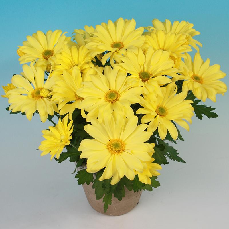 Victor® Yellow