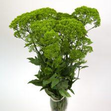 Briba Green®