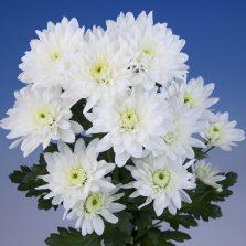 Colbrelli White