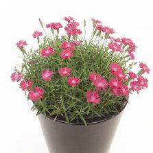 Dianthus Diantini® Flare